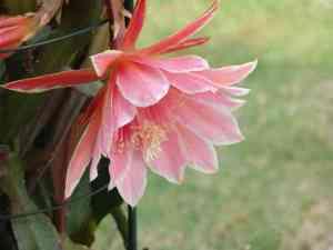 クジャクサボテンの花