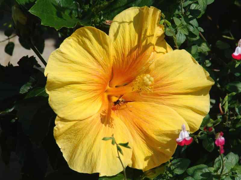 黄色色のハイビスカス
