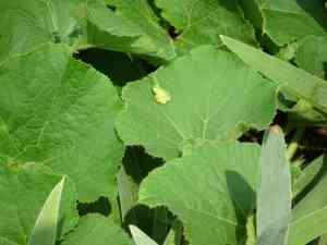 カボチャの葉とアマガエル