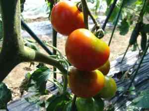トマトも暑そう!!!