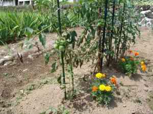 挿し木のトマト