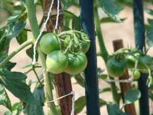 挿し木のトマト2