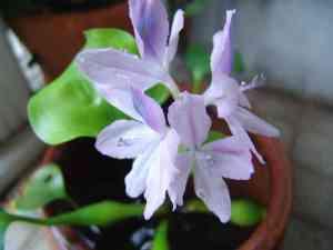 布袋葵の花