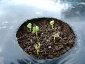 大根の発芽