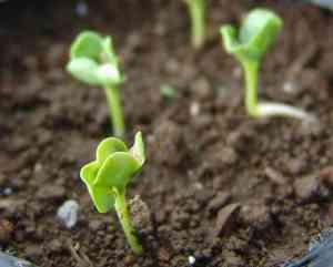 大根の発芽2
