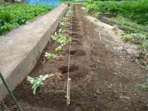 イチゴの植え替え2