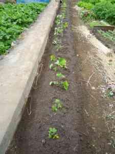 苺の植え替え3