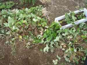苺の植え替え4