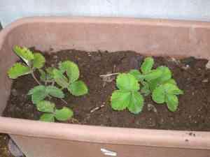 苺の植え替え5