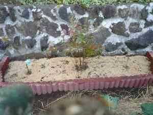 ブルーベリーの植え替え