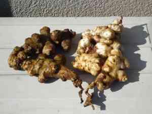 菊芋の保存法