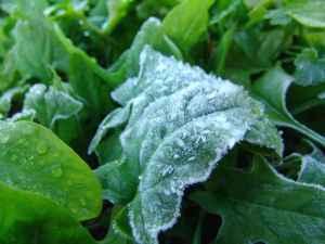 霜が降りたホウレン草