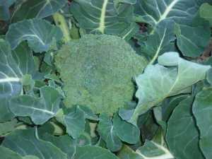 ブロッコリーの初収穫