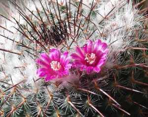 サボテン(霧墨)の花