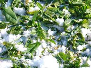 雪に埋もれていたホウレン草