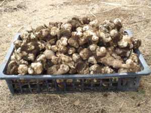 菊芋の収穫