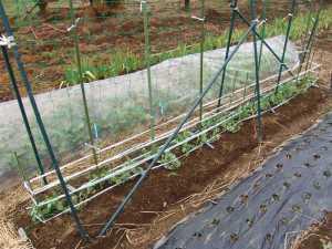 エンドウ豆のネット棚作り
