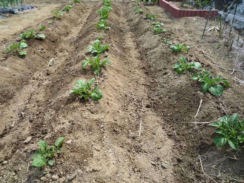 ジャガイモの追肥と土寄せ