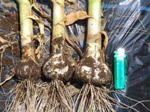 ニンニクの収穫2