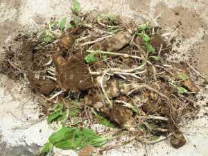畑に残っていた菊芋