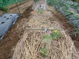 スイカの苗を植えました。