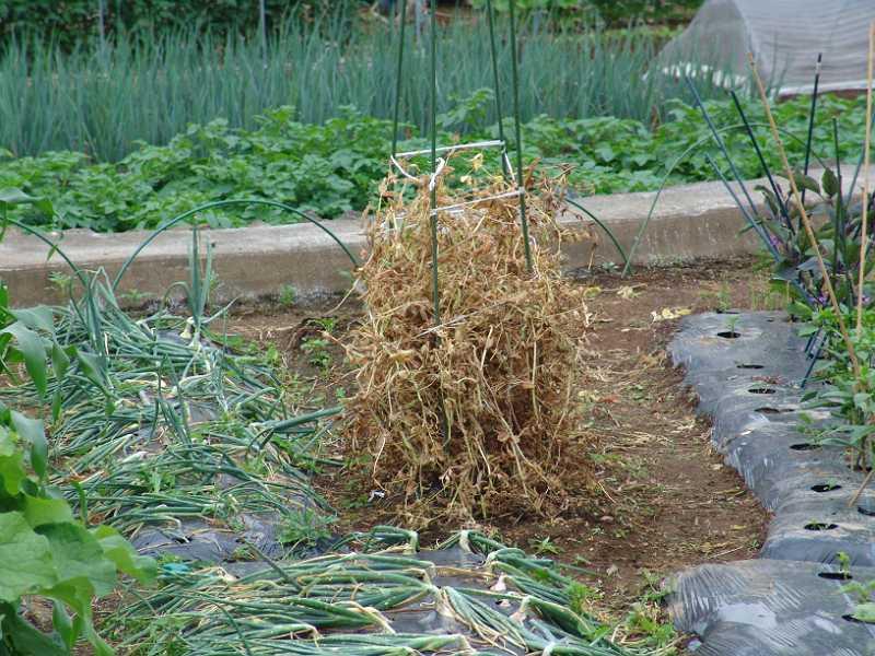 エンドウ豆の片づけ