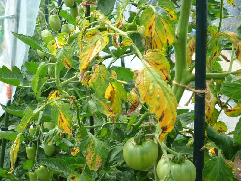 トマトが病気?