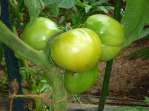 大玉トマトが色づき始めました!!!