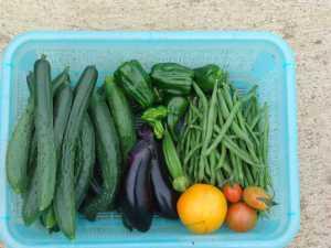 夏野菜の本日の収穫