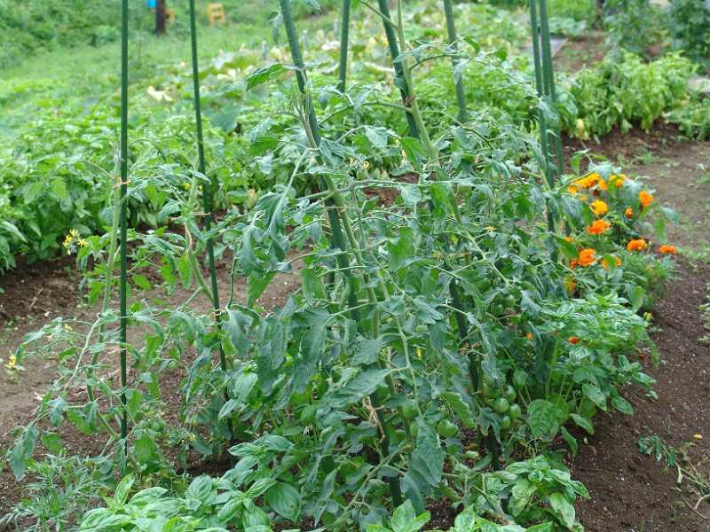 画像3(挿し芽のトマト1)