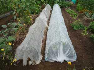 画像1(白菜のトンネル)