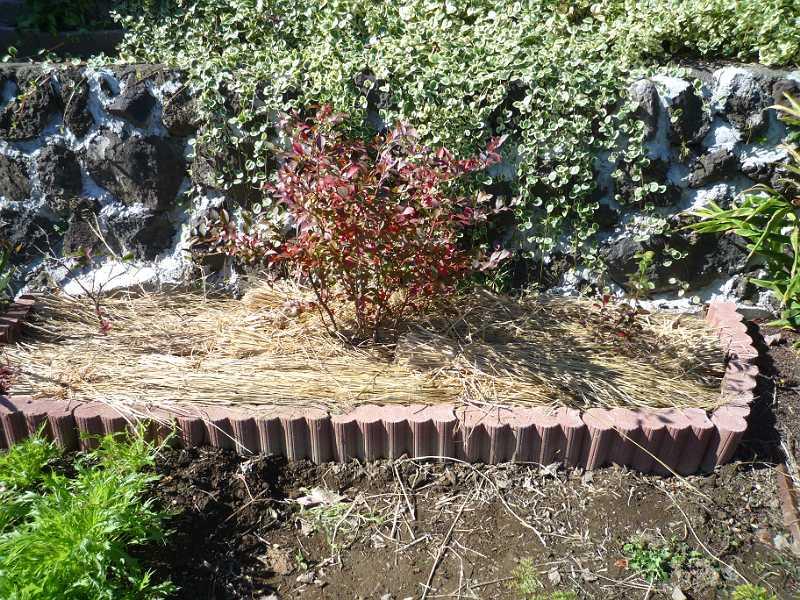 画像4(ブルーベリーに藁を敷く)