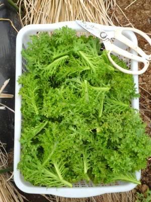 画像2(わさび菜の収穫)