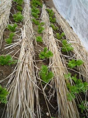 画像3(収穫後のわさび菜)