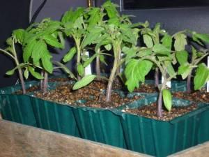 画像3(セルポットのトマトの挿し芽)