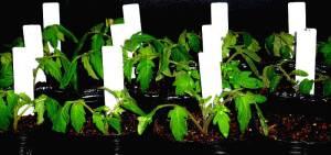 画像4(セルポットのトマトの挿し芽)
