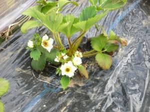 画像3(イチゴの花)