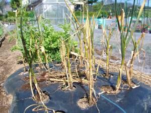 画像1(畑に植わっているときの島ニンニク)