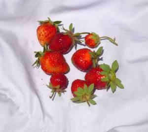 画像4(苺の収穫)