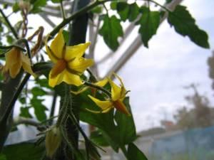 画像2(トマト レッドオーレの花)