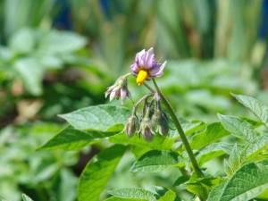 画像3(ジャガイモの花)