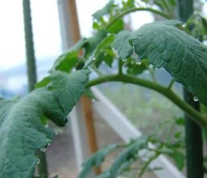 画像4(温室のトマトの葉の水滴)