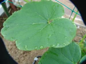 画像2(オンに角ミニカボチャの葉の水滴)
