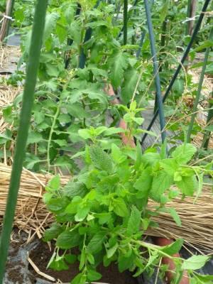 画像3(トマトの畝のレモンバーム)