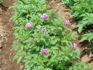 画像4(ジャガイモの花)