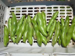 画像2(収穫したそら豆)