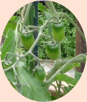 画像6(プランターのミニトマト)