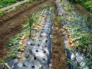画像1(玉ねぎの収穫)