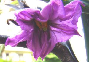 画像7(茄子の一番花)