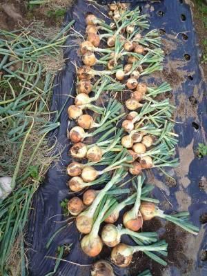 画像3(玉ねぎの最終収穫)